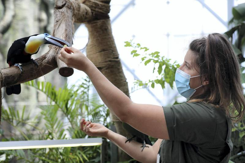 An Channel bill toucan is fed by biologist Elizabeth Hill at the Green Planet. Weighing is done once a week. A day in the life of keepers at the Green Planet in Dubai on June 16th, 2021. Chris Whiteoak / The National.  Reporter: N/A for Lifestyle