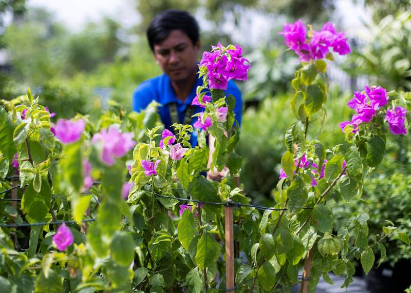 DUBAI, UNITED ARAB EMIRATES - JULY 22 2019.Rolan arranges the bougainvilleas at the newly opened Dubai Garden Center in Jumeira 1, opposite Town Center.(Photo by Reem Mohammed/The National)Reporter: Katy GillettSection: WK
