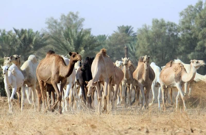 Camels walk at Qassim desert, 350 kms north of the Saudi capital Riyadh, 20 November 2007. AFP PHOTO/HASSAN AMMAR / AFP PHOTO / HASSAN AMMAR