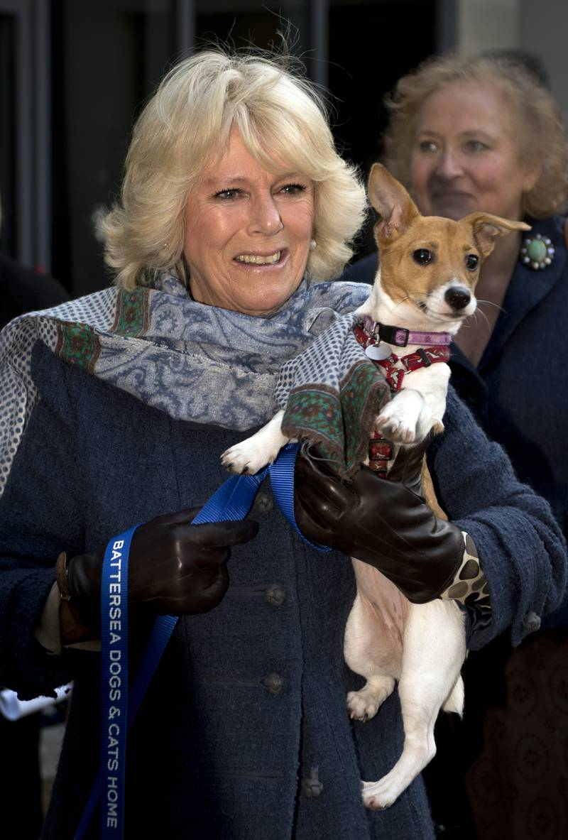LONDON, ENGLAND - DECEMBER 12:  Camilla, Duchess of Cornwall carries her Jack Russell dog Bluebell as she arrives during a visit to Battersea Dog and Cats Home on December 12, 2012 in London, England. The Duchess of Cornwall as patron of Battersea Dog and Cats home visited with her two Jack Russell terriers Beth, a 3 month old who came to Battersea as an unwanted puppy in August 2011 and Bluebell a nine week old stray who was found wandering in a London Park in September 2012.  (Photo by Adrian Dennis - WPA Pool/Getty Images)