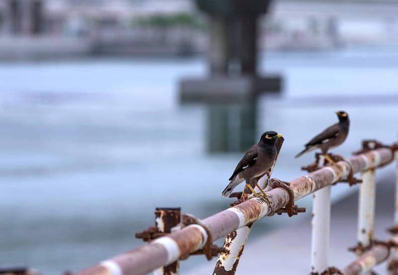 Abu Dhabi, United Arab Emirates, April 12, 2020.   Myna bird's perched on metal railings at Al Reem Island, Abu Dhabi.Victor Besa / The NationalSection:  NAReporter: