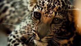 Rare Arabian leopard cub born in captivity lifts conservationists' hopes