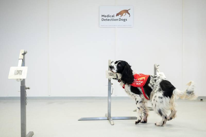 """MILTON KEYNES, ENGLAND - MARCH 27: """"Freya"""" correctly detects a sample of malaria from a row of sample pots at the """"Medical Detection Dogs"""" charity headquarters on March 27, 2020 in Milton Keynes, England. The charity is currently working with the London School of Hygiene and Tropical Medicine to test whether the dogs can be re-trained in the next six weeks to provide a rapid, non-invasive diagnosis of the virus. Medical Detection Dogs has successfully trained it's dogs to detect cancer, Parkinson's and bacterial infections, through the sense of smell and is now looking for donations to help cover the costs of the intensive programme. The Coronavirus (COVID-19) pandemic has spread to many countries across the world, claiming over 20,000 lives and infecting hundreds of thousands more. (Photo by Leon Neal/Getty Images)"""