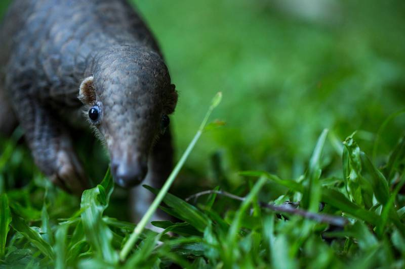ZSL saves baby pangolin in Thailand. Courtesy Zoological Society of London