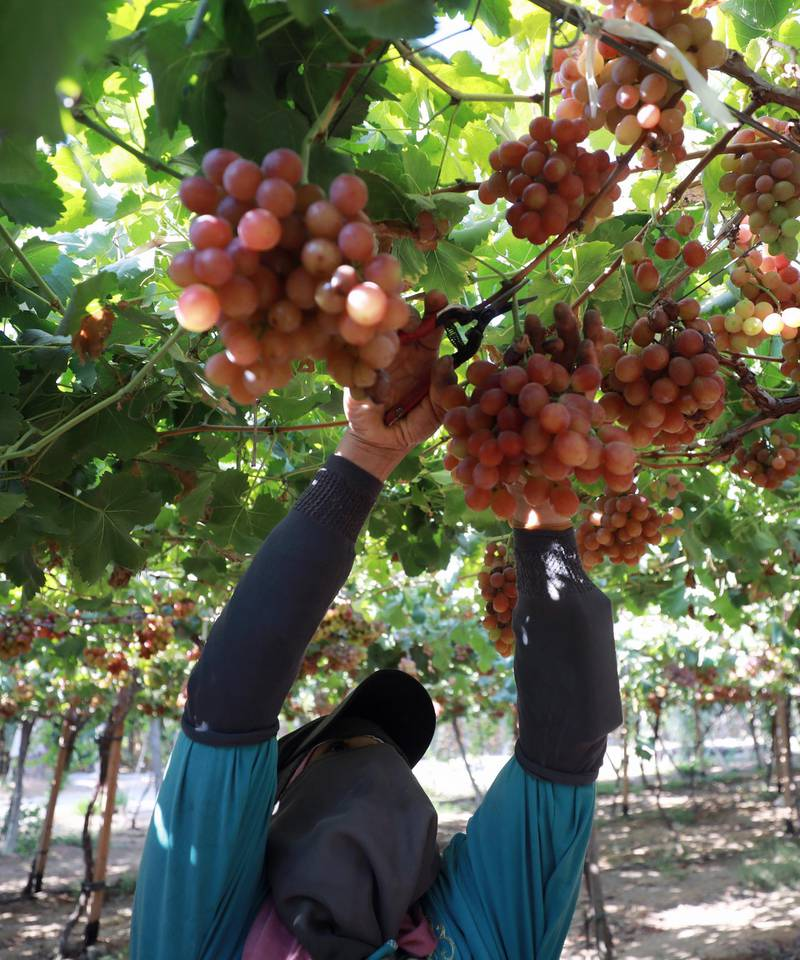 epa09270379 A worker harvests grape at the farm in Khatatba al-Minufiyah Governorate in Egypt, 14 June 2021. Table grape of this farm is exported to the EU countries, mainly Germany, England and Netherlands.  EPA-EFE/KHALED ELFIQI *** Local Caption *** 56967455
