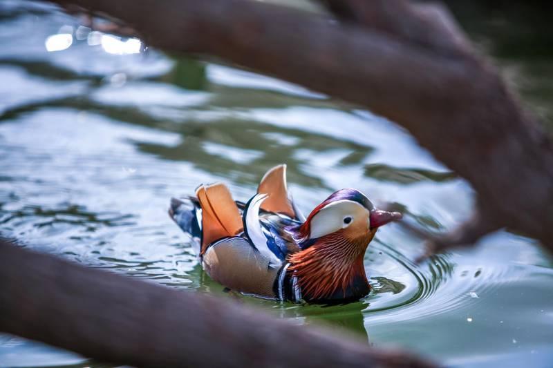 December 12, 2017.   Dubai Safari, Al Awir Road.  Media tour of the Dubai Safari.  Mandarin ducks at the aviary. Victor Besa for The NationalNationalReporter:  Nick Webster