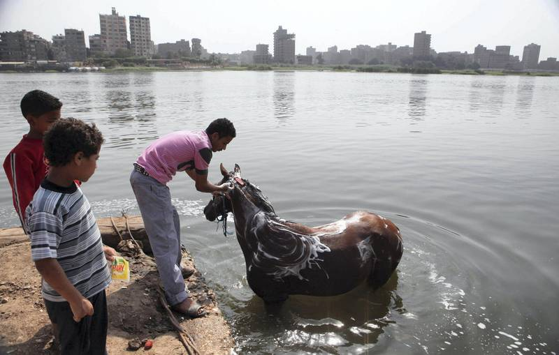 """A boy washes his horse in the river Nile in Cairo May 22, 2013. Most of Egypt's population live clustered around the Nile valley and delta, and the river is both a vital resource for the country's citizens, and a potent national symbol. In a recent dispute with Ethiopia over the construction of a dam upstream, Egypt's foreign minister Mohamed Kamel Amr underlined the country's reliance on the river's waters: """"No Nile - no Egypt,"""" he said. Picture taken May 22, 2013. REUTERS/Asmaa Waguih (EGYPT - Tags: POLITICS SOCIETY BUSINESS CITYSCAPE ANIMALS)   ATTENTION EDITORS: PICTURE 33 OF 49 FOR PACKAGE 'THE NILE - LIFEBLOOD OF CAIRO'. SEARCH 'NILE LIFEBLOOD' FOR ALL IMAGES"""