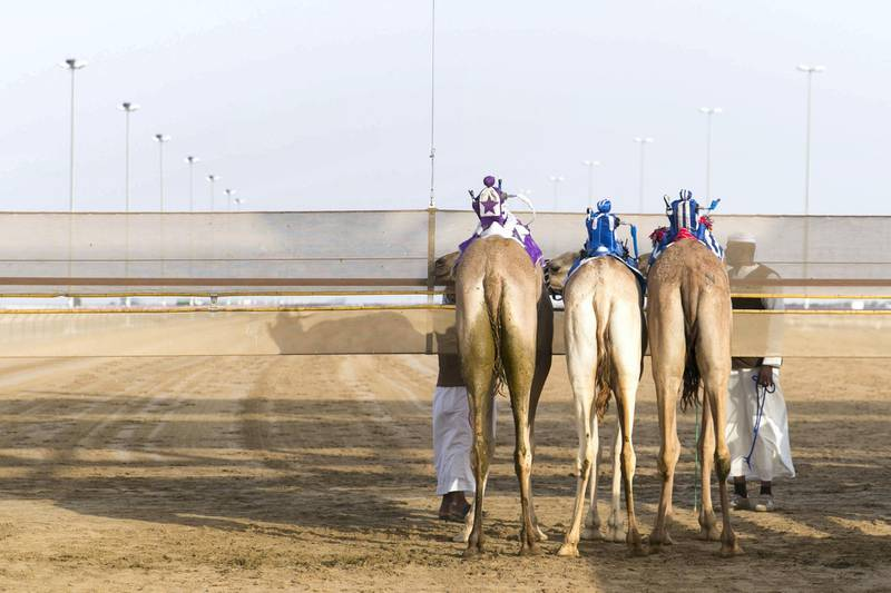 DUBAI, UNITED ARAB EMIRATES - Feb 15, 2018.  Camels at the start line at Al Marmoum Race Track.  The fastest camels in the Gulf will compete for cash, swords, rifles and luxury vehicles totalling Dh95 million at the first annual Sheikh Hamdan Bin Mohammed Bin Rashid Al Maktoum Camel Race Festival in Dubai.   (Photo: Reem Mohammed/ The National)  Reporter: Section: NA