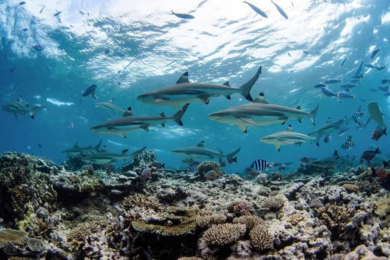 M7HFBB A school of blacktip reef sharks over a coral reef in Kadavu Island, Fiji.