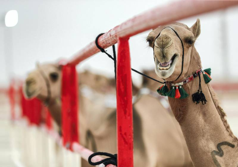 Abu Dhabi, United Arab Emirates, December 10, 2019.    Al Dhafra Festival 2019.  A two year old camel part of the final round of the contest.Victor Besa/The NationalSection:  NAReporter:  Anna Zacharias