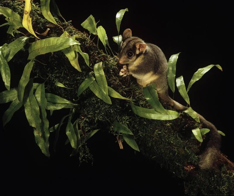 H3EXGG Leadbeater's possum  (Gymnobelideus leadbeateri). Alamy