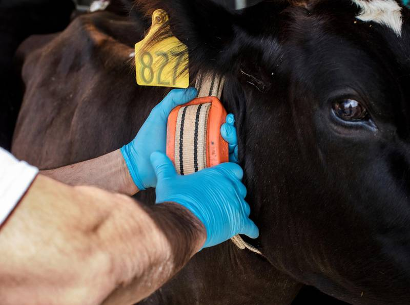 """In this March 28, 2018, photo provided by Google, a person adjusts a cow's IDA, or """"The Intelligent Dairy Farmer's Assistant,"""" device, created by Connecterra, at Seven Oaks Dairy in Waynesboro, Ga. It uses a motion-sensing device attached to a cow's neck to transmit its movements to a program driven by artificial intelligence. (Ben Sellon/Google via AP)"""