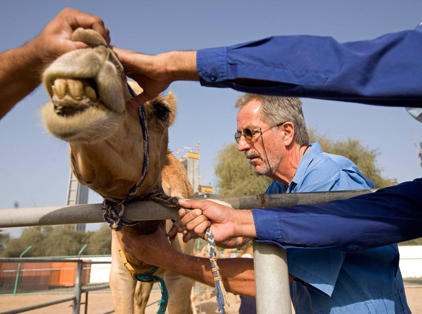 Dubai - March 23, 2010 - Scientific Director Dr. Ulrich Wernery gives camel 6A5 a shot of tranquilizer before blood is drawn from him at the Central Veterinary Research Laboratory in Dubai, March 23, 2010. (Photo by Jeff Topping/The National)