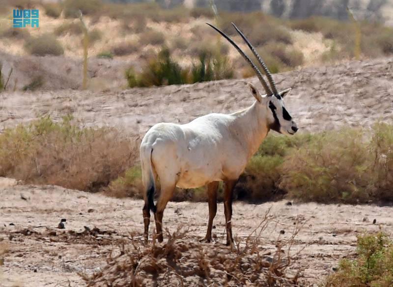 """ع / تقرير / """"واس"""" توثّق التناغم البيئي في محمية """"شرعان"""" بمحافظة العُلا  18 شعبان,1442 هـ(واس)Sharaan Nature Reserve. SPA"""