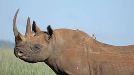 Irish gang on trial in France charged with rhino horn smuggling