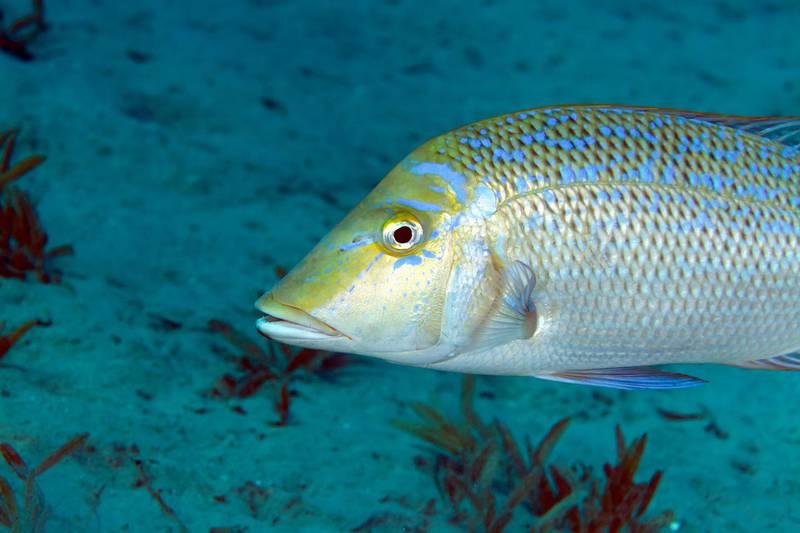 GPT56M Spangled emperor (lethrinus nebulosus) in the Red sea.