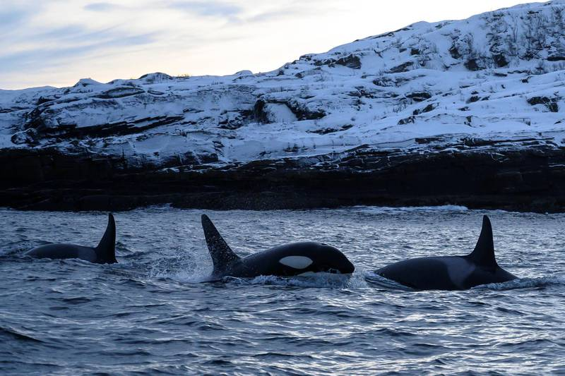 Orcas swim in the waters of the Reisafjorden fjord region, near the Norwegian northern city of Tromso in the Arctic Circle, on January 13, 2019. (Photo by Olivier MORIN / AFP)