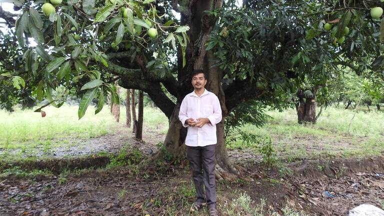 An image that illustrates this article Indian farmer grows mangoes that look like apples and taste like bananas