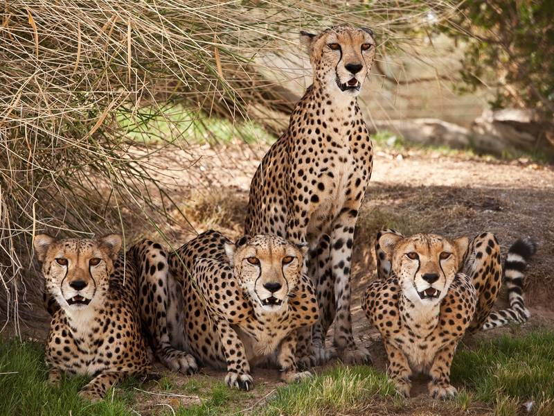DUBAI, UNITED ARAB EMIRATES,  July 23, 2012. Cheetah's at the breeding project for re-introductionat of the Wadi Al Safa Wildlife Centre's private collection in Al Awir. (ANTONIE ROBERTSON / The National)