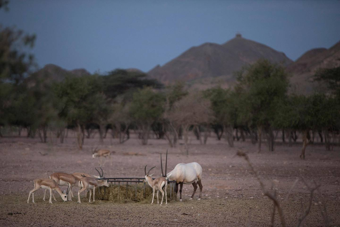 SIR BANI YAS ISLAND, ABU DHABI, United Arab Emirates, Nov. 26 , 2014:   Sand Gazelles and an Arabian Oryx, a critically endangered species, are seen during a dawn nature and wildlife drive on Wednesday morning, Nov. 26, 2014, which is one of the many activities offered to visitors on the Sir Bani Yas Island. The tourism destination, developed and managed by the Tourism and Development Investment Company (TDIC) is located off the coast of Al Gharbia, or the Western Region, and about 250-kilometer drive from Abu Dhabi. As the resort celebrates 6 years this November, it's developers are adding adventure to its focus, while preserving the founder's vision of nature conservancy. The island, one of the largest natural island in the UAE and a wildlife reserve founded by the late Sheikh Zayed bin Sultan al Nahyan in 1971 to preserve Arabia's endangered species, is now home to 25 free-roaming mammals, 177 kinds of birds, about 100 different species of insect, and over 100 small plants.   (Silvia Razgova / The National)  Usage: undated Section: all Reporter: Silvia Razgova