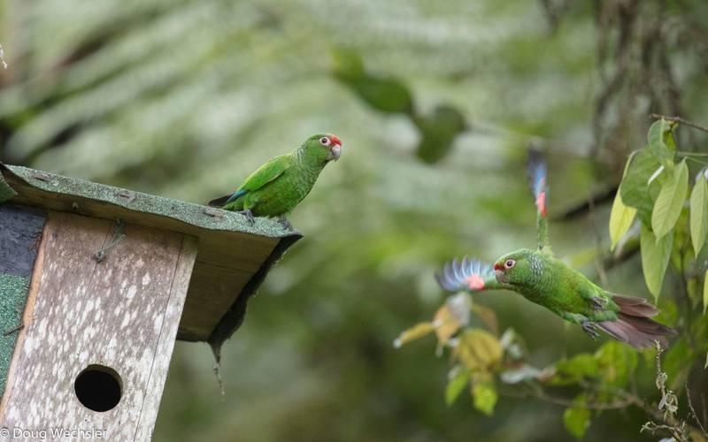El Oro parakeet. Ecuador, Prov. El Oro, Buenaventura Reserve. Courtesy