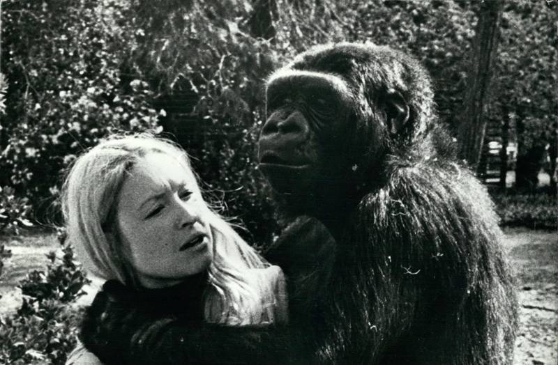 """F4FBEX Feb. 24, 1972 - A most incredible relationship: The most incredible relationship between man and beast in the United States, if not the world, is the friendship between animal psychologist Francine ''Penny'' Patterson and ''Koko'', a highly intelligent gorilla. The pair work together continuously in the primate education department of Stanford University in California. Penny has succeeded in teaching the gorilla a vocabulary of over 200 words. This she has done through a series of signs used the deaf and dumb language. She is seen here with ''Koko'' on the University grounds during a break bet. """"ZUMA Press, Inc. / Alamy Stock Photo"""""""