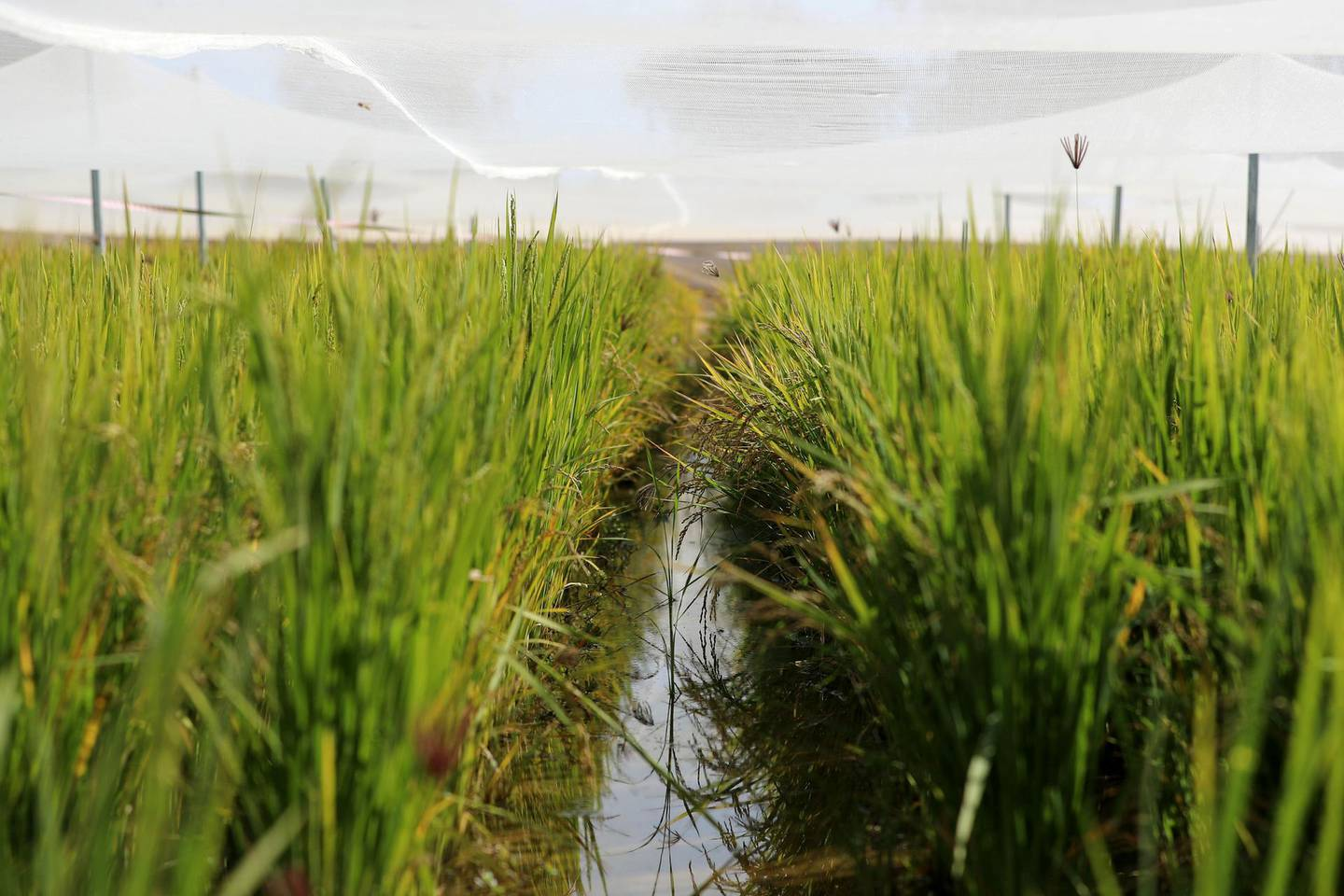 Sharjah, United Arab Emirates - Reporter: Sarwat Nasir. News. Food. Rice plants are planted in a flooded cannel at a rice farm, as part of research by the ministry to enhance UAEÕs food security. Sharjah. Monday, January 11th, 2021. Chris Whiteoak / The National