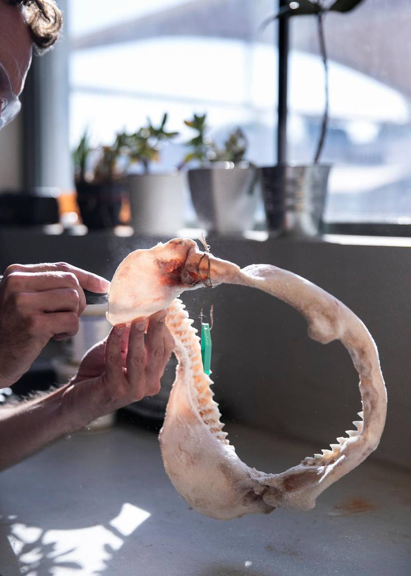 DUBAI, UNITED ARAB EMIRATES. 15 DECEMBER 2020. Andre Appelt sanding a shark jaw. Andre is a taxidermist at the Central Veterinary Research Laboratory in Nad Al Sheba. Andre(Photo: Reem Mohammed/The National)Reporter:Section: