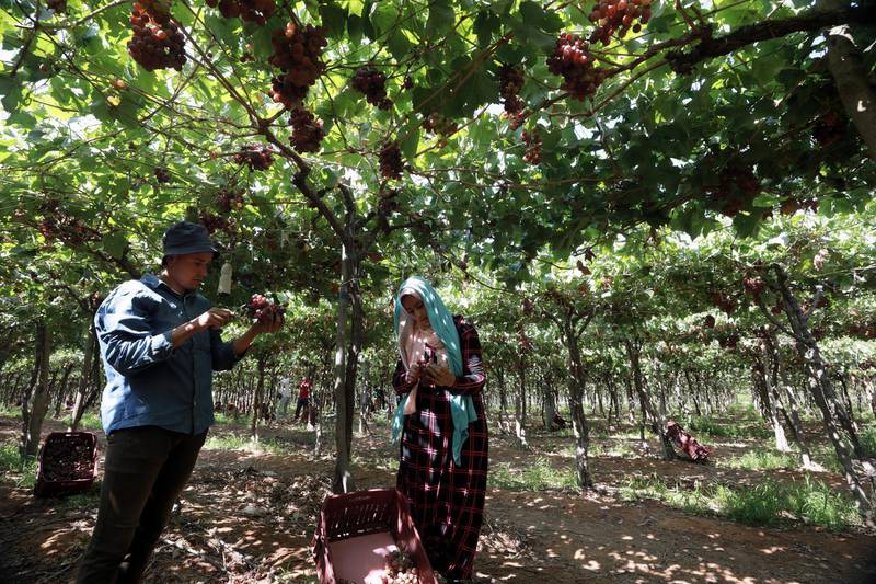 epa09270378 Workers harvest grape at the farm in Khatatba al-Minufiyah Governorate in Egypt, 14 June 2021. Table grape of this farm is exported to the EU countries, mainly Germany, England and Netherlands.  EPA-EFE/KHALED ELFIQI *** Local Caption *** 56967457