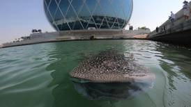 Abu Dhabi officials suspend marine traffic in Al Raha to protect whale sharks