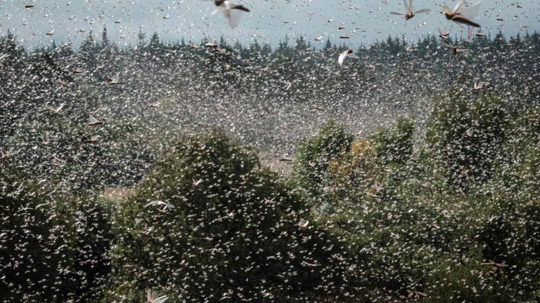 An image that illustrates this article Locusts threaten to compound hunger crisis in Ethiopia's Tigray region