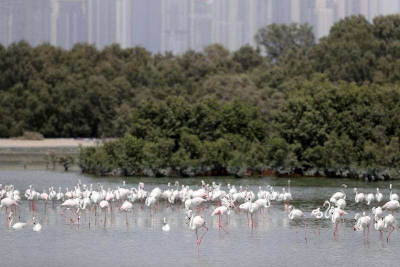 Dubai, United Arab Emirates - August 14, 2019: Standalone. Flamingos feed at Ras Al Khor wildlife sanctuary. Wednesday the 14th of August 2019. Dubai. Chris Whiteoak / The National