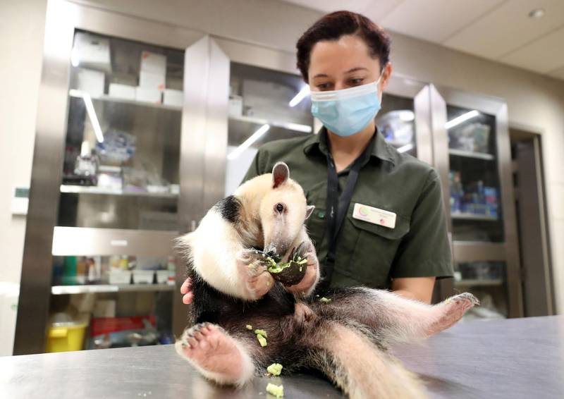 A tamandua anteater eats an avocado with biologist Katie Zimmerman at the Green Planet. A day in the life of keepers at the Green Planet in Dubai on June 16th, 2021. Chris Whiteoak / The National.  Reporter: N/A for Lifestyle