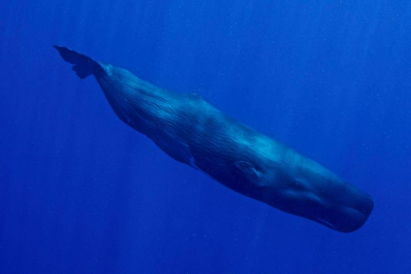 Earth's largest predator photographed in the wild, in the Caribbean sea, a few miles offshore from the east coast of Dominica. Getty Images