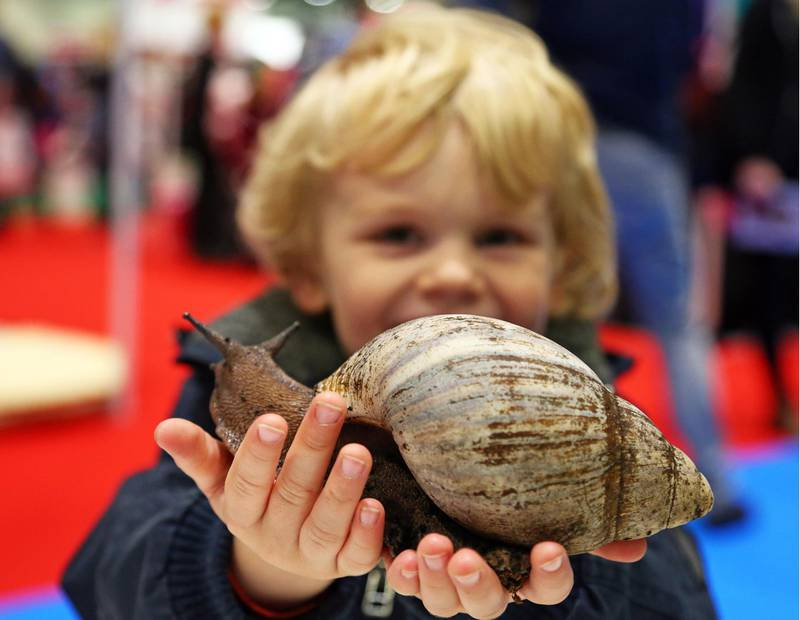 Mandatory Credit: Photo by Paul Brown/Shutterstock (4764226g)Tristan plays with Shelley the Giant African Land SnailLondon Pet Show 2015 at Excel, Britain - 09 May 2015