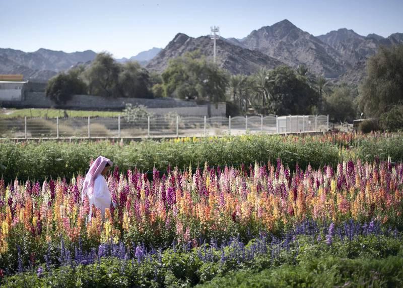 FUJAIRAH, UNITED ARAB EMIRATES.  16 FEBRUARY 2021. Mohammed Al Mazroui's UAE Flower Farm in Asimah.Photo: Reem Mohammed / The NationalReporter: Alexandra Chavez