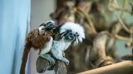 'Cutest monkeys': cotton-top tamarin twins born at Dubai's The Green Planet