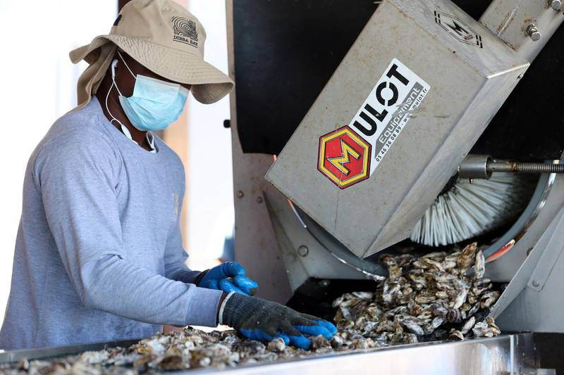 Fujairah, United Arab Emirates - Reporter: Kelly Clark. News. The Processing platform where the oysters are separated into different sizes and cleaned. Visit to the Dibba Bay Oysters farm in Fujairah. Dibba, Fujairah. Wednesday, January 13th, 2021. Chris Whiteoak / The National