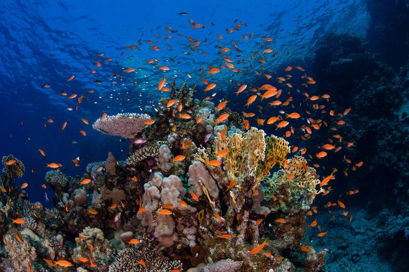 Coral reef and anthias at Yub'a island dive site on northwest side of island in NEOM