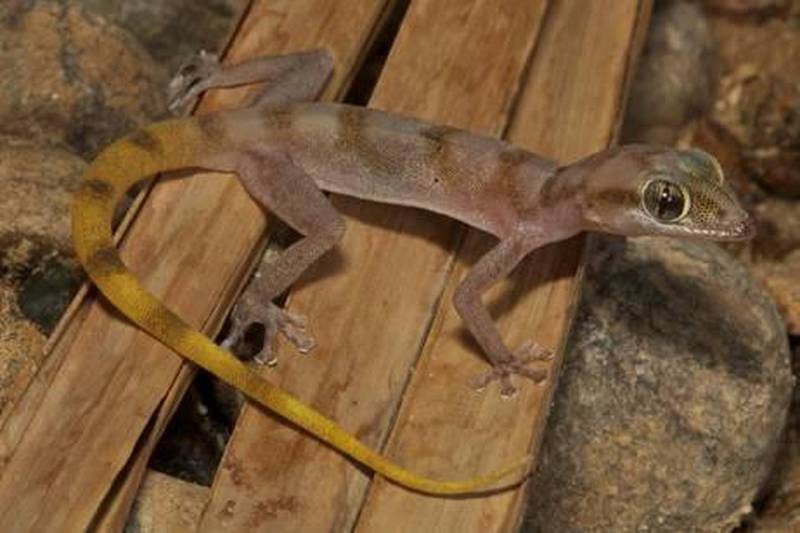 Wadi Wurayah teams with life with discovery of 55 new speciesAsaccus_gallagheriCourtesy Todd Pierson