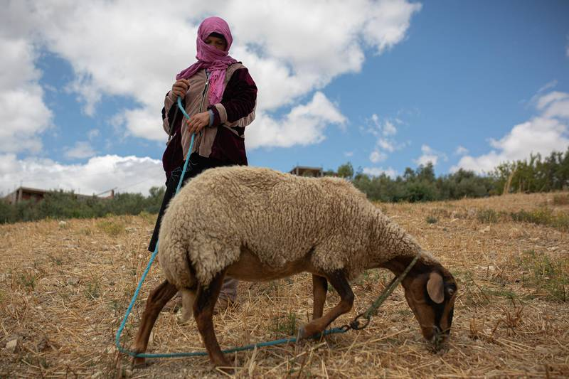 After coming back from the fields, Rajeh and Hakima take their sheeps to the fields.