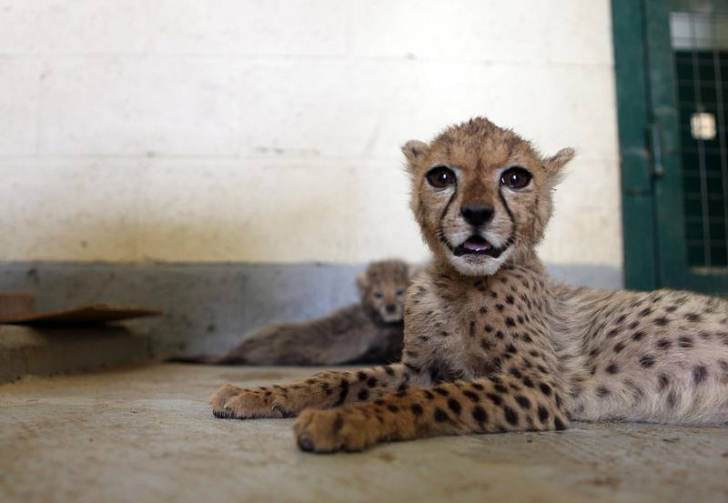 June 13, 2010/ Al Ain/ The Al Ain Zoo has received a few cheetah cubs that somebody was trying to smuggle into Dubai. Out of the 15 cheetahs smuggled in 10 have died June 13, 2010. (Sammy Dallal / The National)