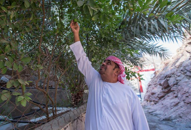 Sharjah, United Arab Emirates-  Mohammed Bahbooh Al Naqbi, owner of the farm, the Bahbooh Hangning Gardens at Al Nahwa Village in Sharjah.  Leslie Pableo for The National for Ruba Haza
