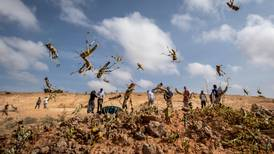 Fresh locust outbreak in Somalia could become a plague