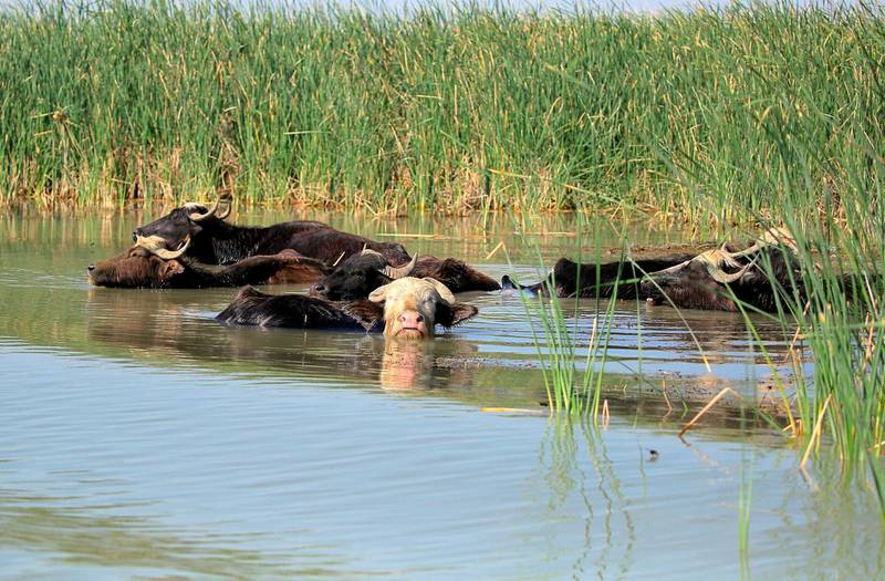 Water buffalos wade in the waters of the marshes after feeding on grass in the area Chibayish, Iraq, Saturday, May, 1, 2021. Deep within Iraq's celebrated marsh lands, conservationists are sounding alarm bells and issuing a stark warning: Without quick action, the UNESCO protected site could all but wither away. (AP Photo/Anmar Khalil)