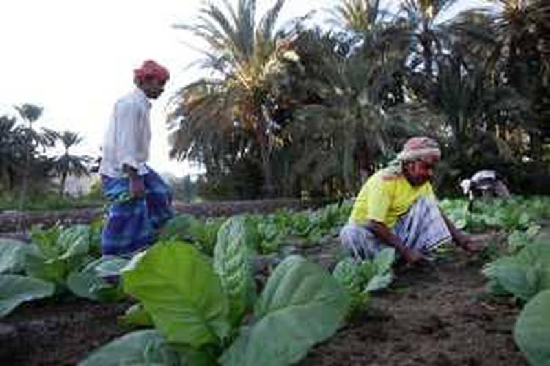 January 11, 2010 - Hatta, UAE, - Bangladeshi workers weeding a young tobacco crop on a farm near Hatta, across the Oman border. (Nicole Hill / The National) *** Local Caption ***  NH Tobacco03.jpg