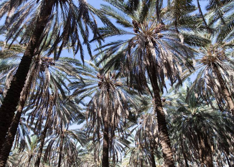 RIYADH, KINGDOM OF SAUDI ARABIA. 29 SEPTEMBER 2019. Date farm in Al Ula.  Al Ula is known also for it's dates export.(Photo: Reem Mohammed/The National)Reporter:Section: