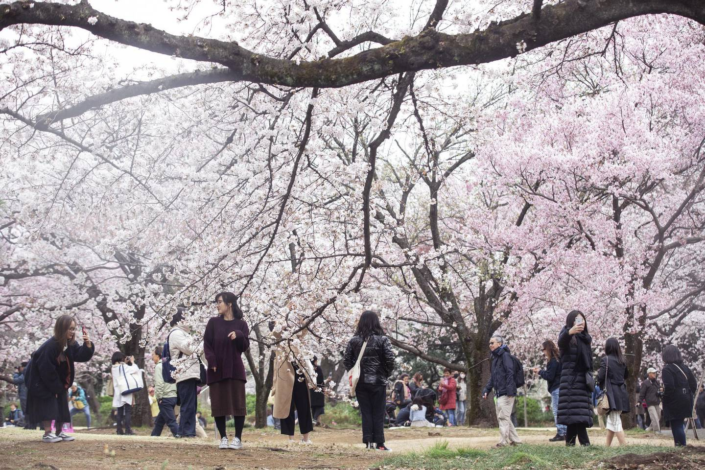 People photograph cherry trees in bloom at Shinjuku Gyoen in Tokyo, Japan, on Friday, March 29, 2019. Over the course of a few weeks, cherry trees across the country burst into bloom, painting the country in shades of pink and white. It's become a national obsession with growing global appeal—and it's a boon to Japan's economy. Photographer: Shiho Fukada/Bloomberg