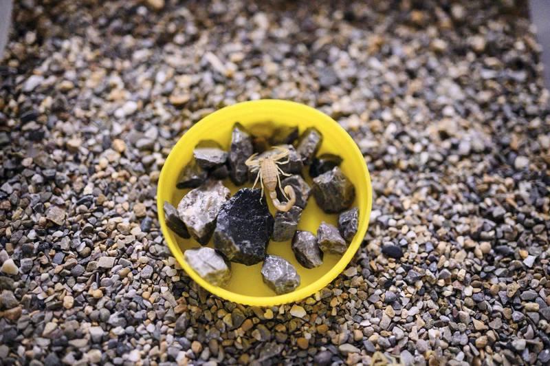 A adolescent scorpion in its makeshift terrarium.