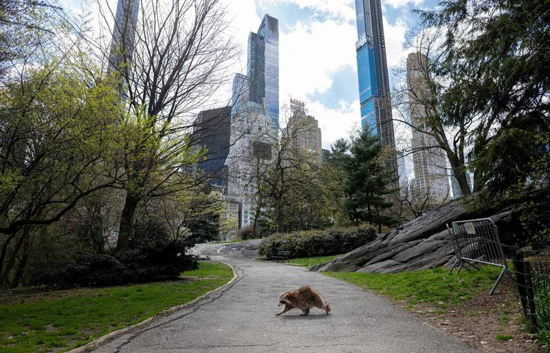 -- AFP PICTURES OF THE YEAR 2020 --  A racoon walks in almost deserted Central Park in Manhattan on April 16, 2020 in New York City. - Gone are the softball games, horse-drawn carriages and hordes of tourists. In their place, pronounced birdsong, solitary walks and renewed appreciation for Central Park's beauty during New York's coronavirus lockdown. The 843-acre (341-hectare) park -- arguably the world's most famous urban green space -- normally bustles with human activity as winter turns to spring, but this year due to Covid-19 it's the wildlife that is coming out to play. (Photo by Johannes EISELE / AFP)